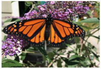 MONARCH MONITORING PROJECT