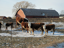 Homepage Winter pics Cows